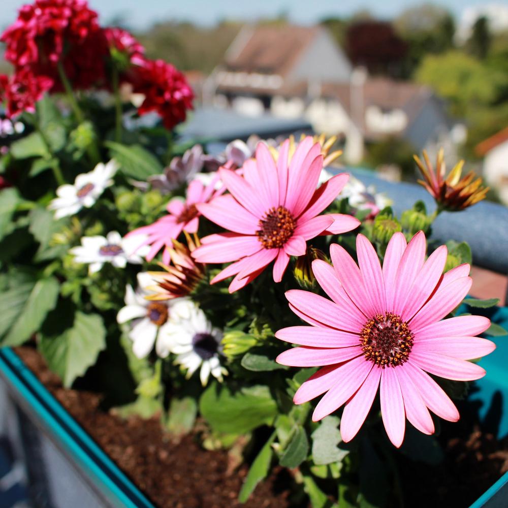 balkon und k belpflanzen pflegen bei westfalia versand deutschland. Black Bedroom Furniture Sets. Home Design Ideas
